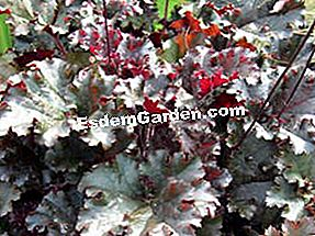 Heuchera 'Dark Secret': secret