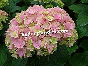 Hydrangea macrophylla You & Me 'Together'