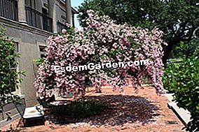 Lagerstroemia sau liliac indian: indian