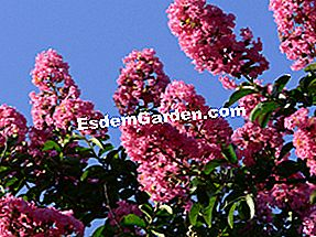 Lagerstroemia sau liliac indian: este