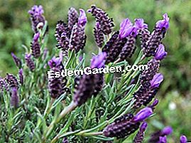 Butterfly Lavender