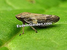 Philaenus spumarus - Frothy Leafhopper