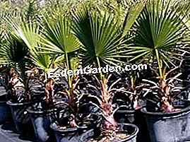 Washingtonia akan filifera palm-tolerant palm