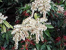 Pieris (andromeda) in fiore