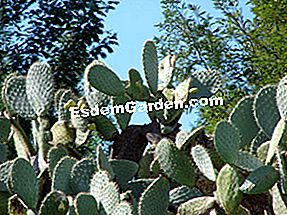 Prickly pear, Opuntia ficus-indica: peer
