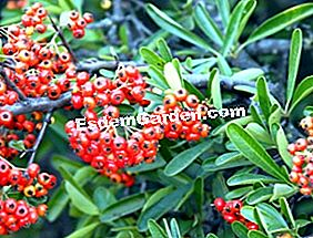 Pyracantha: dell