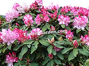 Rhododendron: pada
