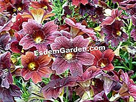 Salpiglossis 'Royal Chocolate'
