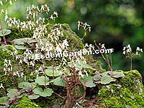 Saxifrages: saxifrages