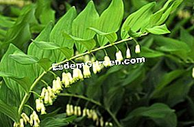 Meterai Salomo, Polygonatum: Salomo