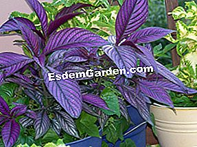 Strobilanthes: dedaunan