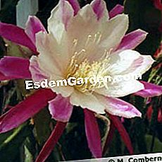 Epiphyllum X 'Clown'