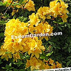 Rhododendron, azalee