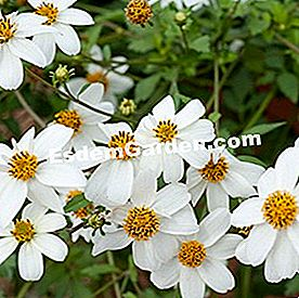 Bidens 'Pirate's Pearl White'