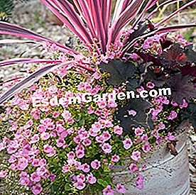 Potée con 'Little Dancer' diascia, 'Pink Passion' cordyline y 'Black Out' heuchera