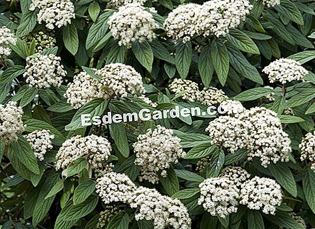 Fertilkan viburnum