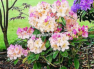 Rhododendron 'Percy Wiseman'.