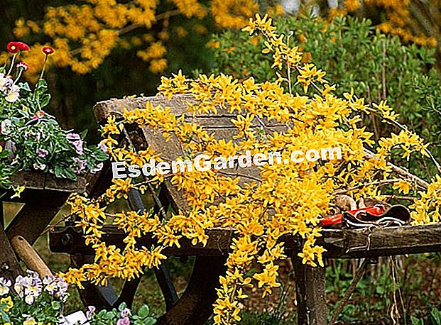 Bouquet of Forsythia - F. Marre - Pinard Wood - M. Marcat - EsdemGarden