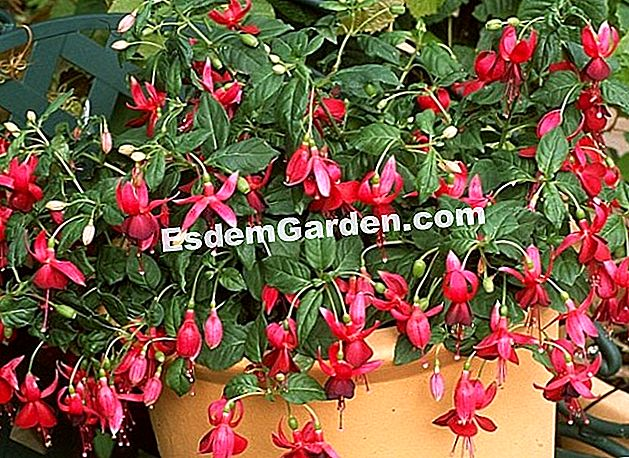 Fuchsia 'Bordeaux Belle'