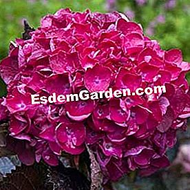 Hydrangea macrophylla 'Blood Wonder'