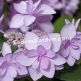 Hydrangea macrophylla 'You and Me Romance