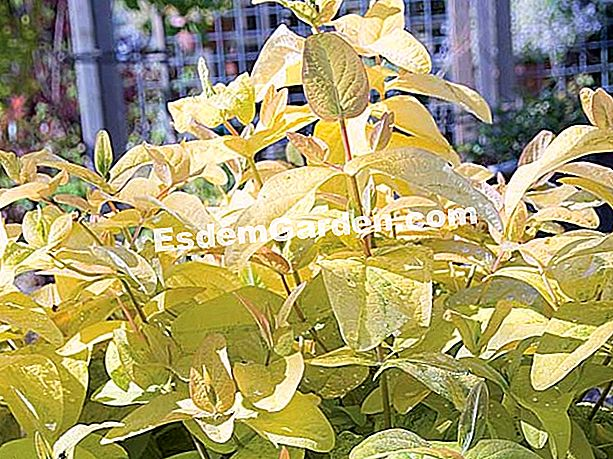 Hypericum 'Golden Beacon' - F. Marre - EsdemGarden - グローブプランター