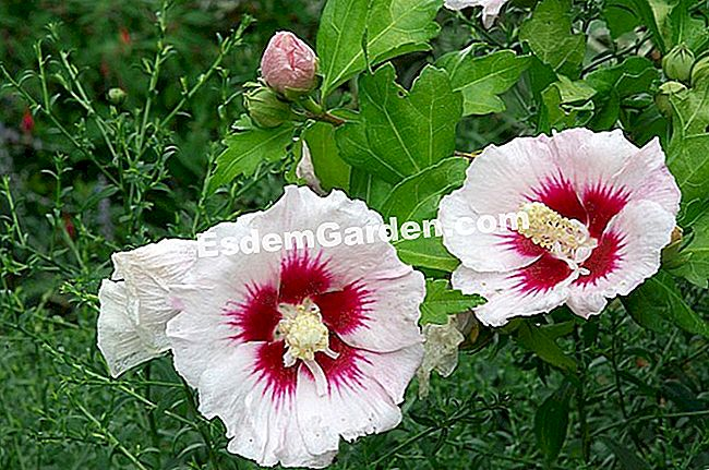 Kulturrekord: Althea (Hibiscus syriacus)