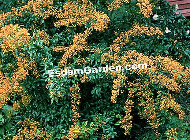 Pyracantha 'Saphyr Orange' - The Clos du Coudray