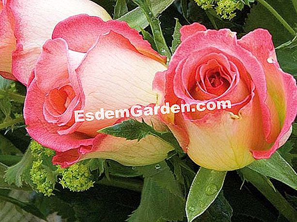 Rose 'Peter Tchernia' - F. Marre - EsdemGarden