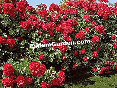 Rosier Scarlet Prodigy - Meilland