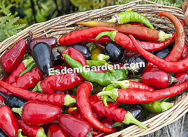 Paprika - F. Marre - esdemgarden.com- A Pagaille mezője