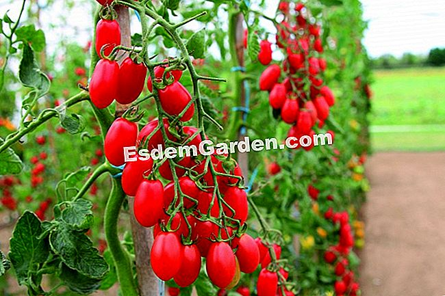 Tomate 'Trilly' da gama Les Saveurs du Potager.
