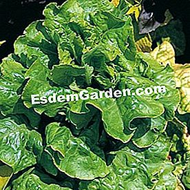 Lechuga 'Val d'Orge' - F. Marre - EsdemGarden