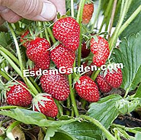 Strawberry 'Anabelle', memanjat strawberi