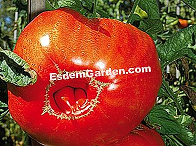 Tomat 'Red Russian' - F. Marre - EsdemGarden