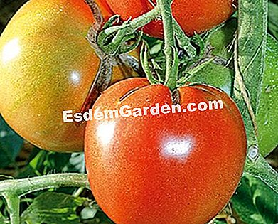 Tomato 'Rose of Bern' - F. Marre - EsdemGarden